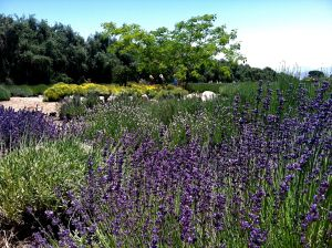 Photo of a lavender field in bloom at Highland Springs Resort and 123Farm's annual Lavender Festival.